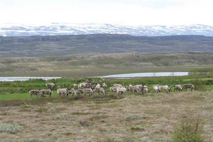 verschil tussen eland en rendier